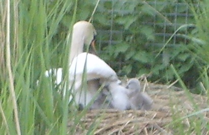 another pic of swan and cygnets