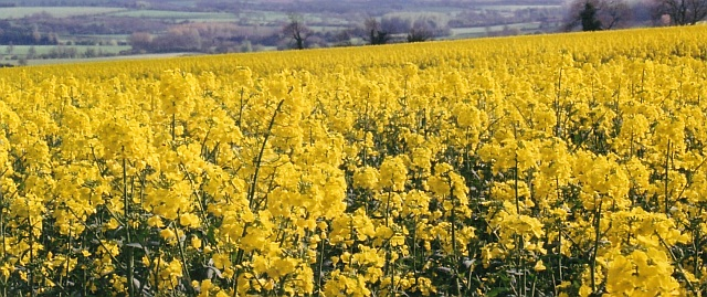 Oilseed Rape in bloom